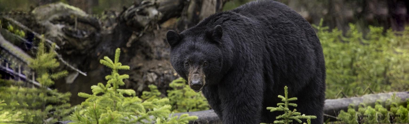 svartbjörn 1